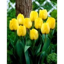 Тюльпан Royal Elegance - пакет из 5 штук - Tulipa Royal Elegance