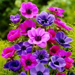 Sada fialových a ružových kvetov - 200 ks; sasanka -