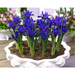 Reticulate iris - Blue Hill - large package! - 100 pcs