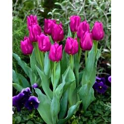Тюльпан Passionale - пакет из 5 штук - Tulipa Passionale