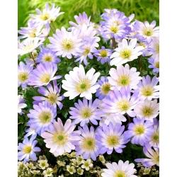 Anemonă balcanică - set de 2 soiuri cu flori albe și albastre - 80 buc; Floarea vântului grec, floarea vântului de iarnă -