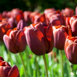 Tulip Dom Pedro - 5 piezas -
