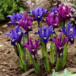 Purple Hill and Blue Hill Iris set - 100 pcs