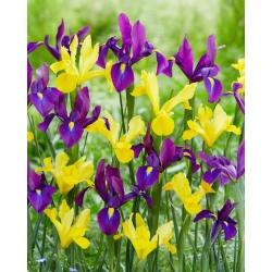 Yellow-purple Dutch iris set - 100 pcs