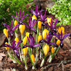 Yellow crocus and purple iris set - 100 pcs