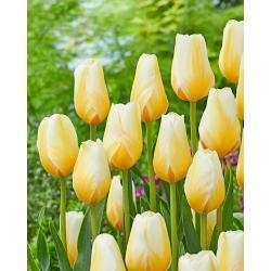 Gasa Tulip Limón - 5 piezas -
