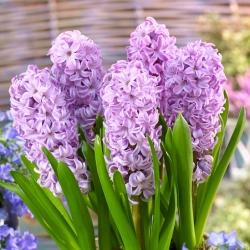 Hyacinth Splendid Cornelia - large package! - 30 pcs