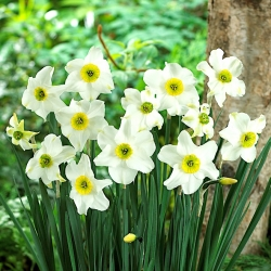 Daffodil, narcissus 'Sinopel' - large package - 50 pcs