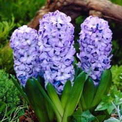 Blue hyacinth - 9 pcs