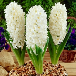 Hyacinth Aiolos - large package! - 30 pcs