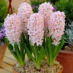 Világos rózsaszín jácint - 9 db -