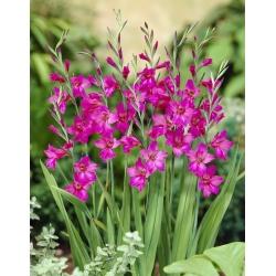 Eastern gladiolus - Gladiolus Byzantinus - large package! - 100 pcs; common corn-flag