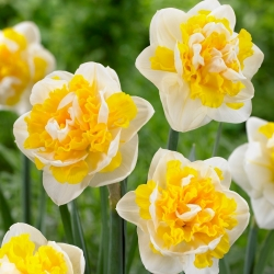 Double flowered narcissus Doctor Witteveen - large package! - 50 pcs
