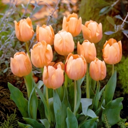 Tulip 'Apricot Beauty' - large package - 50 pcs