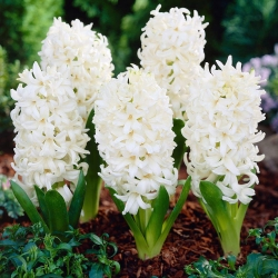 Fehér virágú jácint - 9 db -