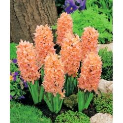 Orange hyacinth - 9 pcs
