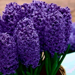 Sötétkék virágú jácint - 9 db -