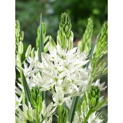 White camas 'Alba' - large package - 20 pcs; Indian hyacinth, camash, wild hyacinth