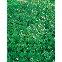 """Reversed clover """"Gorby"""" - 0.5 kg; Persian clover, shaftal"""