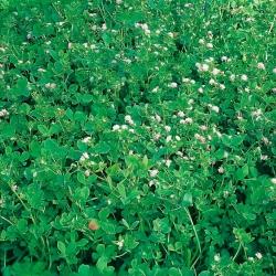 """Reversed clover """"Gorby"""" - 5 kg; Persian clover, shaftal"""