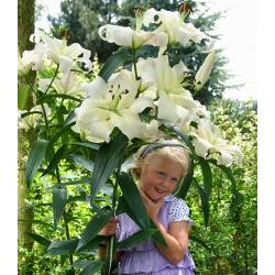 Tree lily - Pretty Women - gói lớn! - 10 chiếc -
