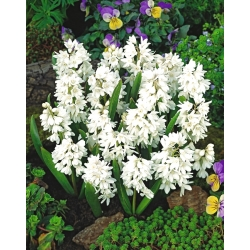 Striped squill - Puschkinia alba - large package - 100 pcs; Lebanon squill