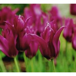 Tulip Burgundy - paket besar! - 50 buah -
