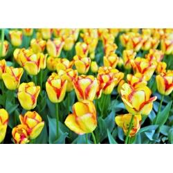 Tulip 'Cape Town' - paquete grande - 50 piezas -