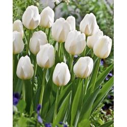 Tulip 'City Of Vancouver' - paquete grande - 50 piezas -