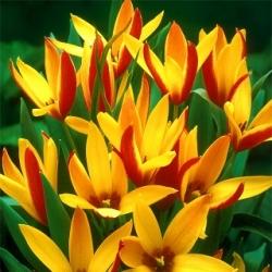 Botanický tulipán - Cynthia - veľké balenie! - 50 ks -