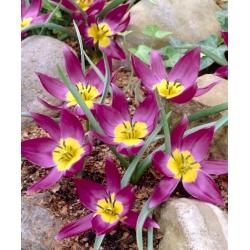 Botanical tulip - Ngôi sao phương Đông - gói lớn! - 50 chiếc -
