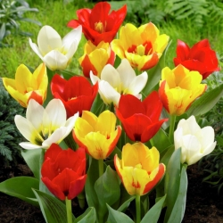 Botaaniline tulp - vähekasvuline - värvivalik - suur pakk! - 50 tk -