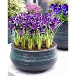 Netted iris Spot On - 10 db; arany hálóval írisz -