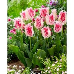 Tulip Drakensteyn - 5 piezas -
