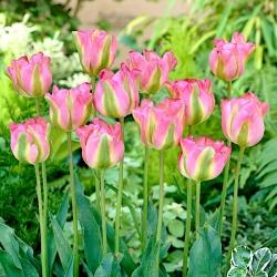 Tulip 'Groenland' - paquete grande - 50 piezas -
