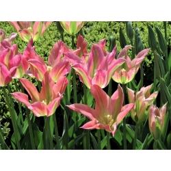 Tulip 'Florosa' - paquete grande - 50 piezas -