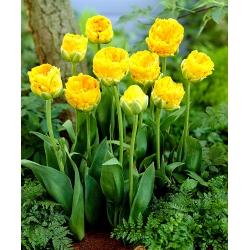 Tulipán doble peonía - 'Beauty of Apeldoorn' - paquete grande - 50 piezas -