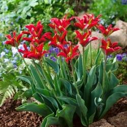 Tulip 'Eye Catcher' - paquete grande - 50 piezas -