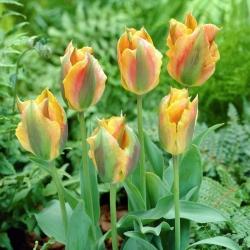 Tulip 'Golden Artist' - paquete grande - 50 piezas -