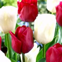 Juego de 2 variedades de tulipanes 'White Dream' + 'Ile de France' - 50 piezas -
