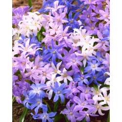 Bossier's glory-of-the-snowy - colour variety mix - 90 pcs; Lucille's glory-of-the-snow