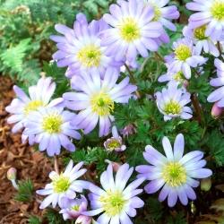 """Anemonă balcanică - """"Blue Splendor"""" - pachet mare - 80 buc; Floarea vântului grec, floarea vântului de iarnă -"""