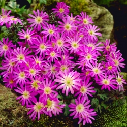 Balkan anemone - Violet Star - economy pack! - 80 pcs; Grecian windflower, winter windflower