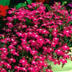 Lobelia Rosamond - karmínové kvety -