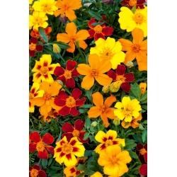 """Marigold """"Disco"""" - nízko rastúca, jednokvetá odrodová zmes -"""