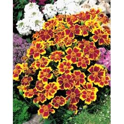 """Marigold """"Disco"""" - jednokvetý, nízko rastúci, karmínovo žltý -"""