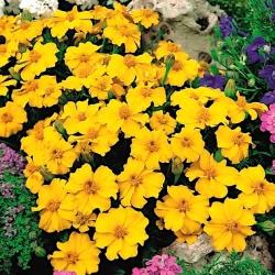 """Marigold """"Disco"""" - jednokvetý, nízko rastúci, medovo žltý -"""
