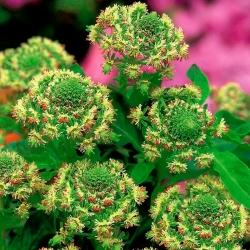 Mignonette de jardín de flores rojas; mignonette común -