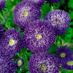 """Aster ungu berbunga ganda """"Sidonia"""" -"""