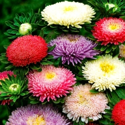 """Double-flowered aster """"Sidonia"""" - colour mix"""